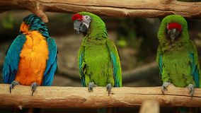 Ara divertido colorido de dos loros de los pájaros video almacen de metraje de vídeo