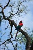Ara in een boom stock afbeelding