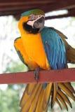 Ara gialla e blu dell'uccello Fotografie Stock Libere da Diritti