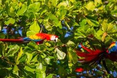 Ara. Green-winged Macaw Ara in the wild, Costa Rica, Central America Stock Image