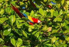 Ara. Green-winged Macaw Ara in the wild, Costa Rica, Central America Stock Photo