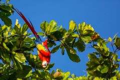 Ara. Green-winged Macaw Ara in the wild, Costa Rica, Central America Stock Images