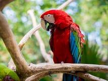 Ara kolorowy ptak Zdjęcia Stock