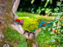 Ara kolorowy ptak Zdjęcie Royalty Free