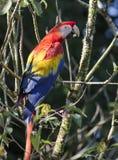 Ara Macao del Macaw del escarlata Fotografía de archivo