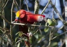 Ara Macao del Macaw del escarlata Fotografía de archivo libre de regalías
