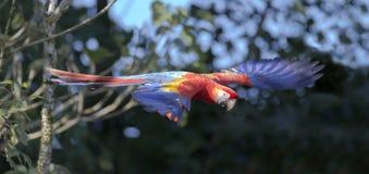 Ara Macao del Macaw del escarlata Imagen de archivo