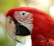Ara macao, esotica, uccello, pappagallo di Amazon, specie Fotografia Stock