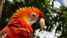 Ara macao, Macaw bird Stock Images