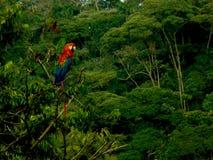 Ara macao nella giungla dell'Ecuador con la foresta pluviale tropicale nei precedenti fotografie stock libere da diritti