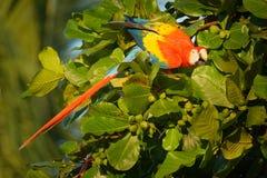Ara macao - pappagallo centrale e sudamericano rosso della Macao dell'ara grande, giallo e blu, indigeno alle foreste umide di tr fotografia stock