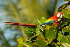 Ara macao - pappagallo centrale e sudamericano rosso della Macao dell'ara grande, giallo e blu, indigeno alle foreste umide di tr immagine stock libera da diritti