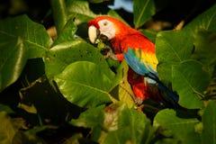 Ara macao - pappagallo centrale e sudamericano rosso della Macao dell'ara grande, giallo e blu, indigeno alle foreste umide di tr immagini stock