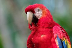 Ara macao - pappagallo centrale e sudamericano rosso della Macao dell'ara grande, giallo e blu, indigeno alle foreste umide di tr immagini stock libere da diritti
