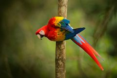Ara macao rossa del pappagallo, ara Macao, uccello che si siede sul ramo, Brasile Scena della fauna selvatica dal bello pappagall Fotografia Stock