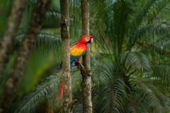 Ara macao rossa del pappagallo, ara Macao, uccello che si siede sul ramo, Brasile Scena della fauna selvatica dal bello pappagall Fotografie Stock Libere da Diritti