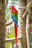Ara macao rossa del pappagallo, ara Macao, uccello che si siede sul tronco della palma fotografie stock libere da diritti