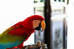 Ara macao rossa del pappagallo variopinto, uccello variopinto che si appollaia sul ramo con fondo bianco Immagini Stock Libere da Diritti