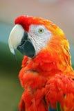ara macaw Στοκ Εικόνες