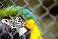 Ara Macaw. Blue and Yellow Ara Macaw in Cage Royalty Free Stock Photos