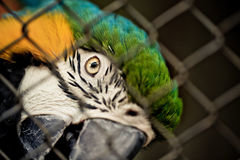 Ara Macaw. Blue and Yellow Ara Macaw in Cage Royalty Free Stock Photography