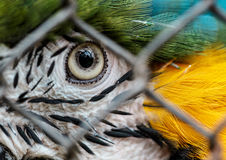 Ara Macaw. Blue and Yellow Ara Macaw in Cage Stock Photo