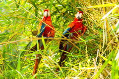 Ara Macaw Pair Of Birds In Amazon Basin. Pair Of Ara Macaw Parrots In Ecuadorian Amazonia Royalty Free Stock Photos