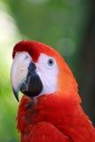 Ara Macaw papegoja Royaltyfri Fotografi