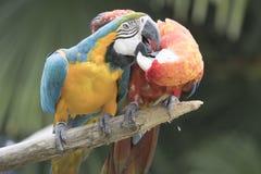 Ara Macaw papegoja arkivbilder