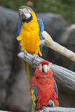 Ara macaw parrot on its perch Royalty Free Stock Photos