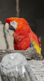 Ara macaw parrot on its perch Stock Photography