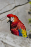 Ara macaw parrot on its perch Stock Photo