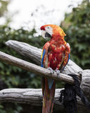 Ara macaw parrot on its perch. Colorful ara macaw parrot on its perch Stock Image
