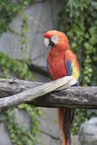 Ara macaw parrot on its perch. Colorful ara macaw parrot on its perch Royalty Free Stock Image