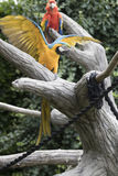 Ara macaw parrot. It opens its Stock Image