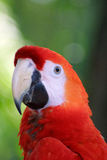 Ara Macaw parrot Royalty Free Stock Photography