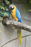 Ara macaw parrot. Perched on a branch Royalty Free Stock Images