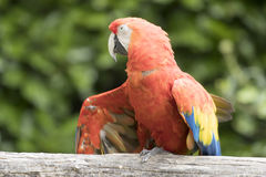 Ara macaw parrot. Perched on a branch Royalty Free Stock Photography