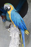 Ara macaw parrot. Perched on a branch Stock Photography