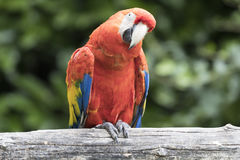 Ara macaw parrot. Perched on a branch Royalty Free Stock Photo