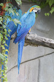 Ara macaw parrot. Perched on a branch Stock Image