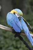 Ara macaw parrot. Perched on a branch Stock Images