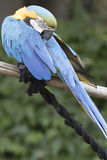 Ara macaw parrot. Perched on a branch Stock Photos