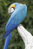 Ara macaw parrot. Perched on a branch Stock Photo