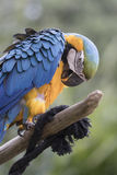 Ara macaw parrot. Perched on a trunk Royalty Free Stock Photos