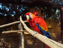 Ara Macaw parrot. Red Ara macaw parrot on branch Stock Photo