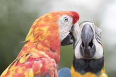 Ara macaw parrot. Two ara macaw parrot they look at eachother Stock Photo