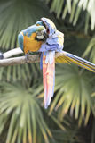 Ara macaw parrot. Two Ara macaw parrot perched on a trunk Royalty Free Stock Photography