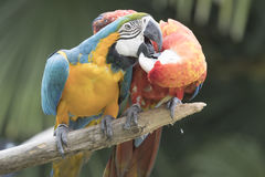 Ara macaw parrot. Two Ara macaw parrot perched on a trunk Stock Images