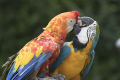 Ara macaw parrot. Two ara macaw parrot quarrel Stock Photography